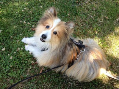 Cute Sheltie on grass