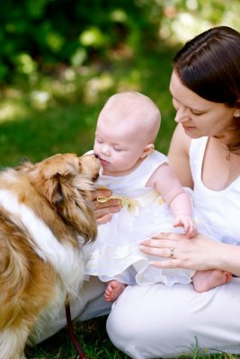 Sheltie kissing baby