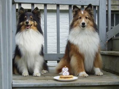 shetland sheepdogs and birthday burger