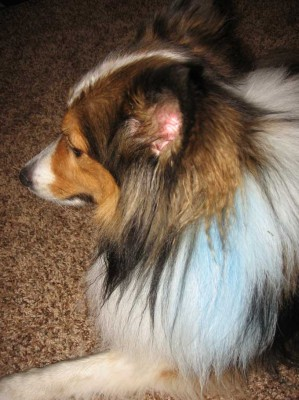 Sheltie with blue collar
