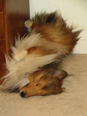 Sheltie sleeping upside down
