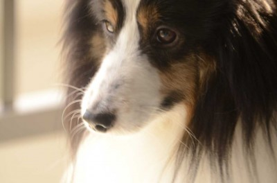 Tri-color Sheltie close up.