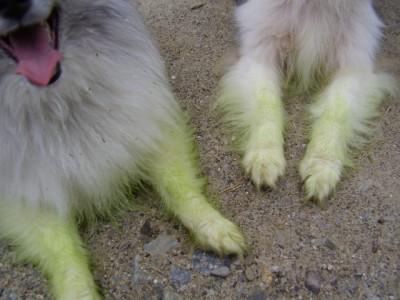 Shelties green from grass