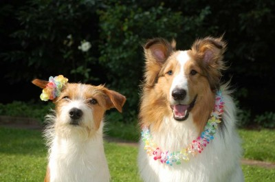 Sheltie and friend with lei