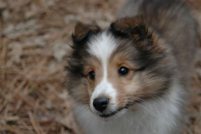 super cute Shetland Sheepdog puppy