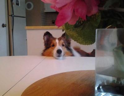 Shetland Sheepdog begging