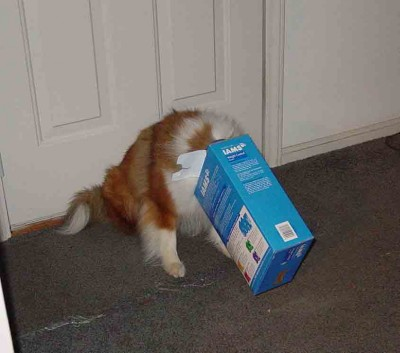 Sheltie with head stuck in box