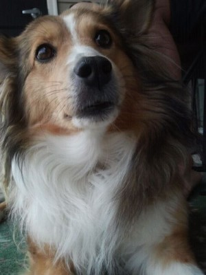 Sheltie with big eyes