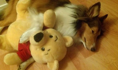 Sheltie sleeping with Winnie the Poo