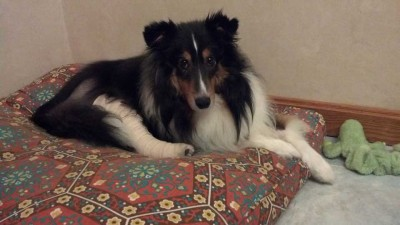 Sheltie for adoption in New Hampshire