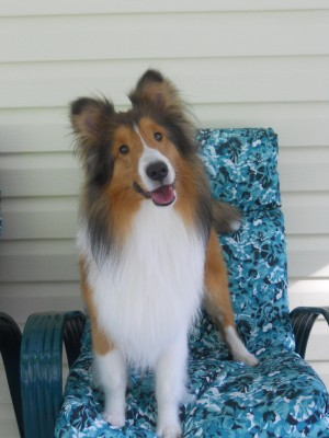 Sheltie standing on chair