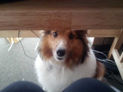 Sheltie dog under a table.