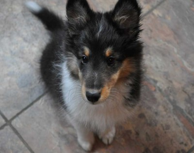 Tri-color Sheltie puppy