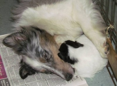 Sheltie puppy cuddles with mom
