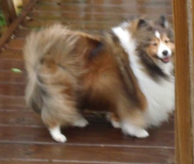 Sheltie in wind