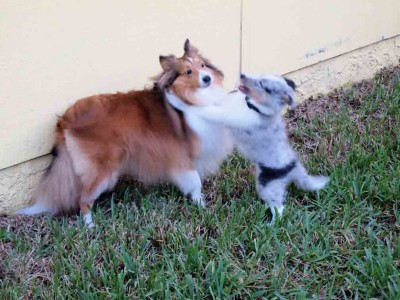 Shetland Sheepdog puppy playing