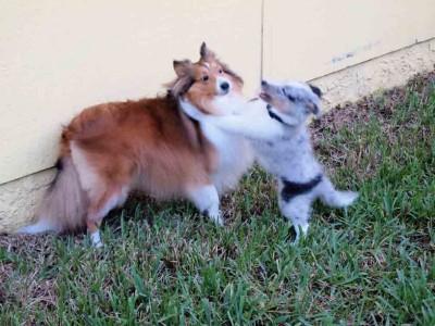 Shetland Sheepdog puppy playing
