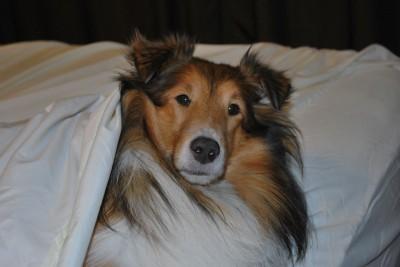 Shetland Sheepdog in bed
