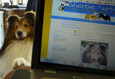Shetland Sheepdog on internet