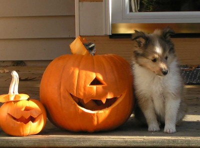 Shetland Sheepdog puppy and pumpkin