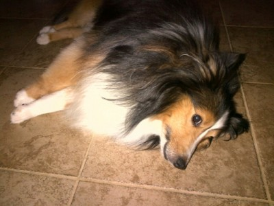 Shetland Sheepdog laying on floor.