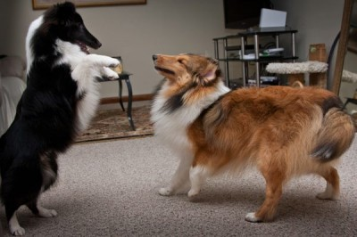 Shetland Sheepdog puppies playing