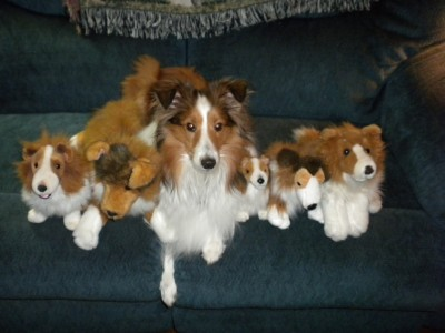 Shetland Sheepdog with stuffed animals