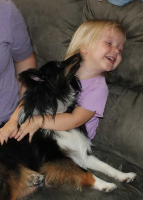 Shetland Sheepdog kissing child