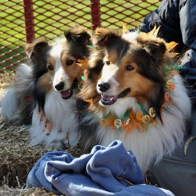Shetland Sheepdogs on hayride