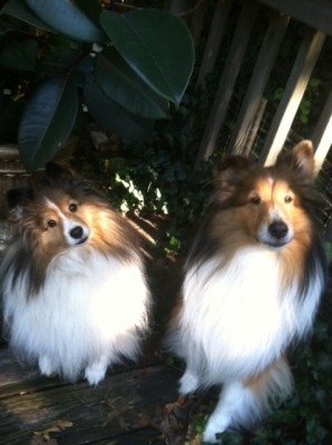 Shetland Sheepdogs head tilt