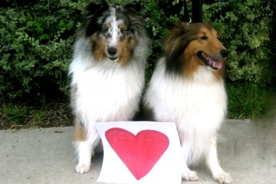 Shetland Sheepdogs and paper heart