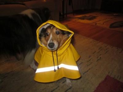 Shetland Sheepdog in raincoat