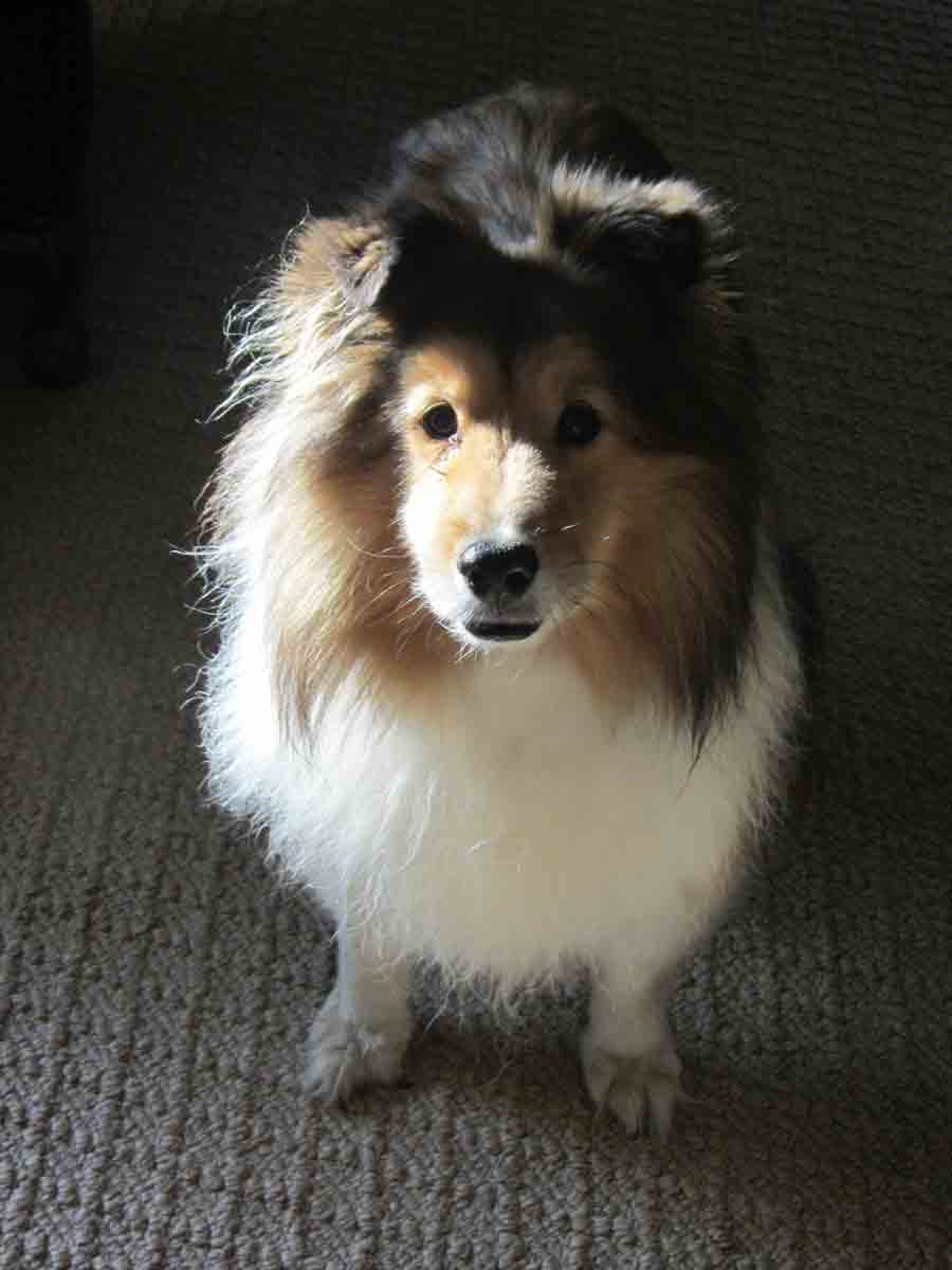 fluffy sheltie by ragzx0fxlace - photo #19