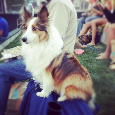 Shetland sheepdog on chair at baseball game