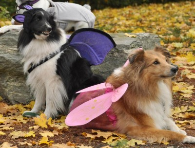 Shelties in halloween costumes