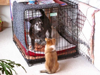 Shetland Sheepdog and dog in crate