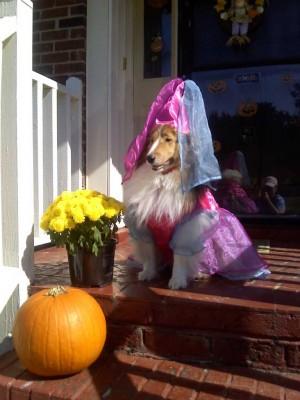 Shetland Sheepdog in costume