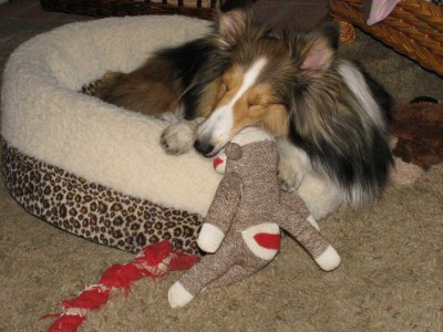 Shetland Sheepdog and sock monkey