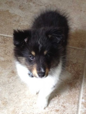 Tri-color Shetland Sheepdog puppy