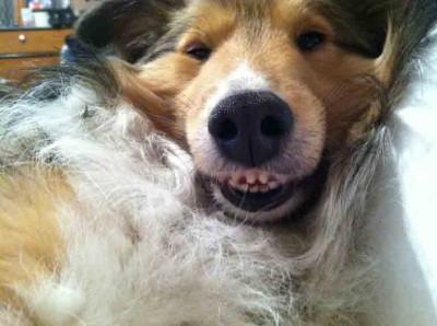 Shetland Sheepdog smiling