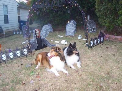 Shetland Sheepdogs on Halloween