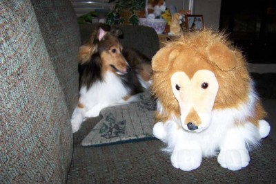 Shetland Sheepdog and stuffed toy