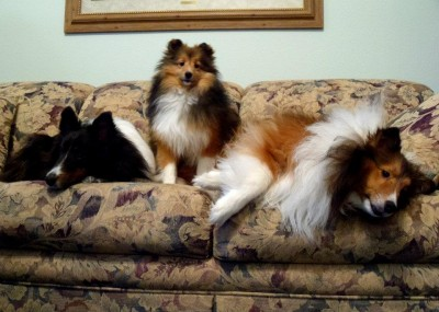 Shelties on couch