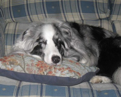 Bi-blue Sheltie sleeping on pillow