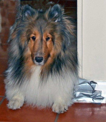 Sheltie chews on wall