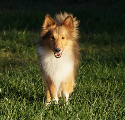 Fuzzy rescue Sheltie