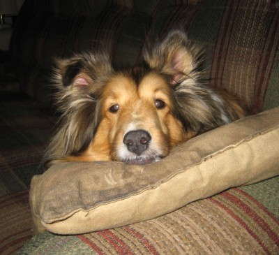 Sheltie with head on pillow