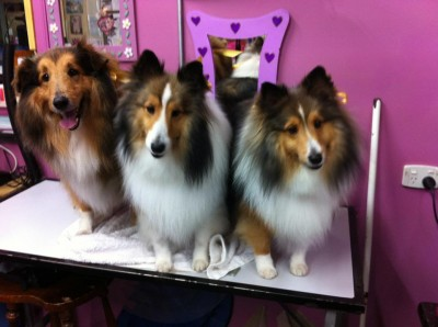 Shelties on grooming table
