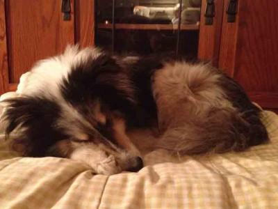 Shetland Sheepdog sleeping