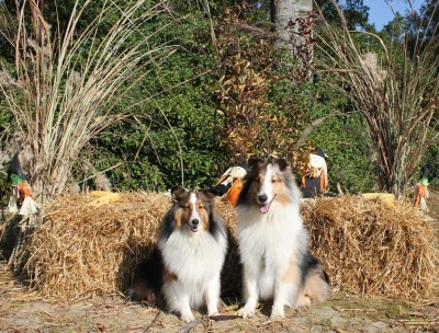 Shelties in fall decorations